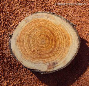 Крушина. Образец дерева