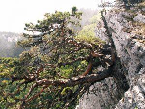дерево в горах,необычные деревья