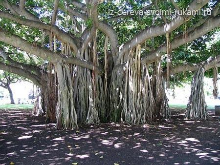 необычные деревья, причуды природы