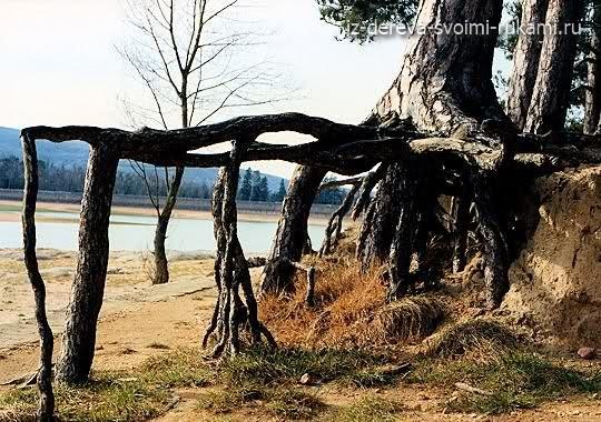 деревья с мощными корнями