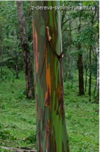 необычное дерево радужный эвкалипт (eucaliptus deglupta)