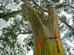 Необычное дерево радужный эвкалипт