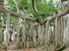 Необычное дерево Великий баньян (фикус бенгальский)