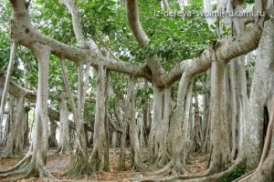 чудо дерево- великий баньян (фикус бенгальский)