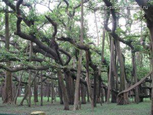 необычное дерево- великий баньян (фикус бенгальский)