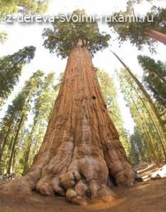 гигантское дерево секвойя генерала Шермана
