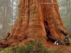 Самое большое дерево на земле – дерево Генерала Шермана