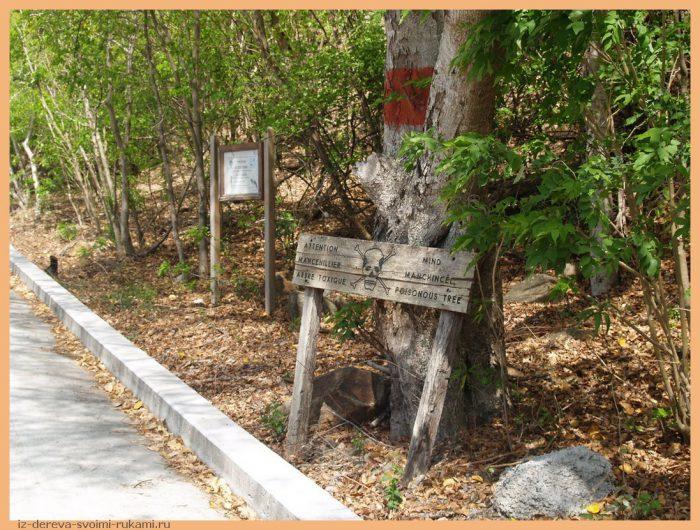 2006 04 04 085 - Из дерева своими руками! Интересные деревянные поделки, мебель, мастер-классы по дереву - Манцинелловое дерево - самое опасное дерево в мире