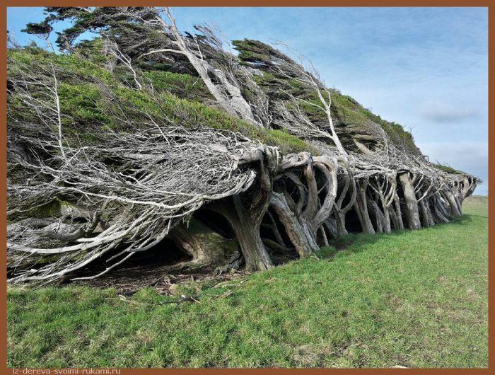 2016 10 17 5804791a77d5f aleks sokol95 - Из дерева своими руками. Мастер-классы по дереву - Гнутые деревья в Новой Зеландии