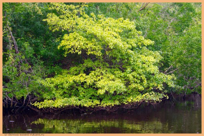 6427 - Из дерева своими руками. Мастер-классы по дереву - Манцинелловое дерево - самое опасное дерево в мире
