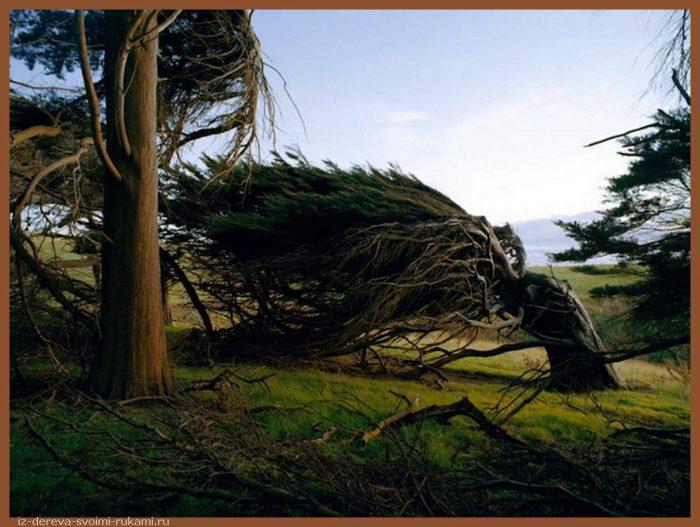 Slope Point Trees in New Zealand ideasgn - Из дерева своими руками. Мастер-классы по дереву - Гнутые деревья в Новой Зеландии
