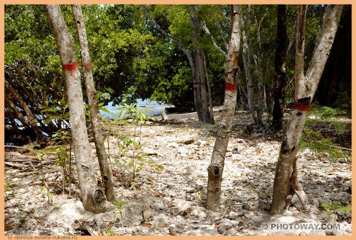 mancenilliers - Из дерева своими руками! Интересные деревянные поделки, мебель, мастер-классы по дереву - Манцинелловое дерево - самое опасное дерево в мире