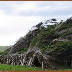 wpid Photo 201405061133511 - Из дерева своими руками. Мастер-классы по дереву - Гнутые деревья в Новой Зеландии
