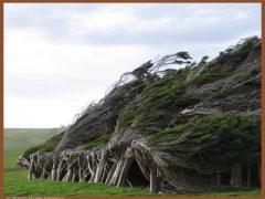 Гнутые деревья в Новой Зеландии